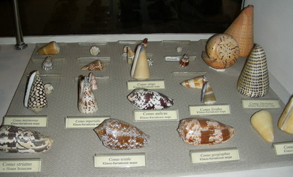 A part of the gastropod exhibition – Conidae