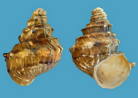 Margarya francheti (Viviparidae), one of the rarest freshwater gastropods believed to be extinct at once