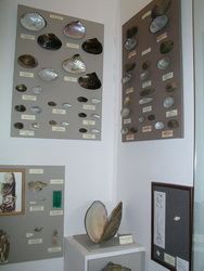 A part of the freshwater bivalve's exhibition