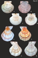 "Far Eastern scallops (Pectinidae) (a plate from ""Catalogue…"")"
